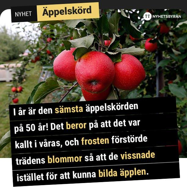 I år är det sämsta äppelskörden på 50 år! Det beror på att det var kallt i våras, och frosten förstörde trädens blommor så att de vissande istället för att kunna bilda äpplen.