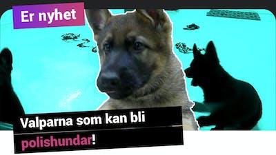 Er nyhet: valparna som kan bli polishundar!